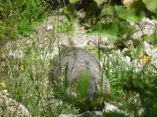 Mackinac Island Groundhog