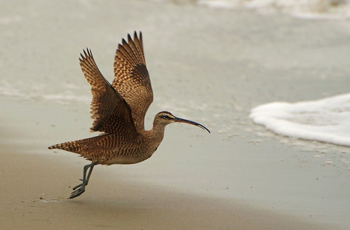 Whimbrel by hpromise-Jean Kohut'