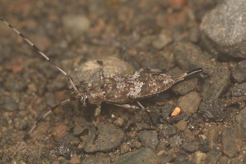 ヒゲナガモモブトカミキリ メス