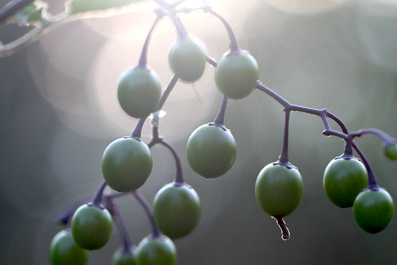 nightshade berries soft light