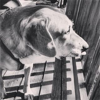 Nosey hound girl #dogstagram
