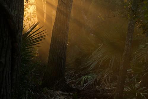 morning sun sunlight mist fog dawn shadows florida hiking trail palmettos lightshafts runrays