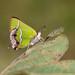Borboleta Chlorostrymon simaethis -