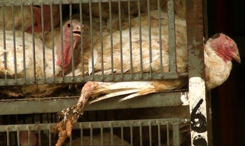 זוגלובק - רגל של תרנגול הודו כלואה מחוץ לסורגים