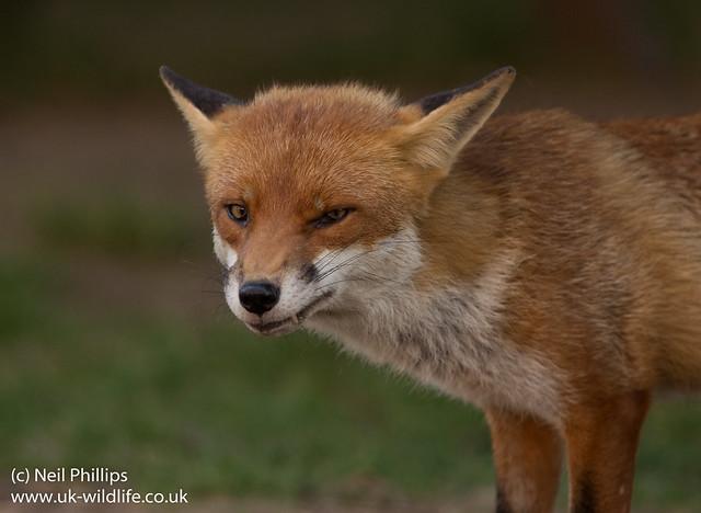 red fox_-19