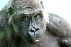 Mittagspause bei den Gorillas