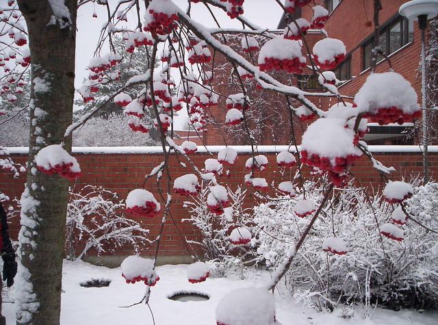 Nieve sobre los frutos de los árboles