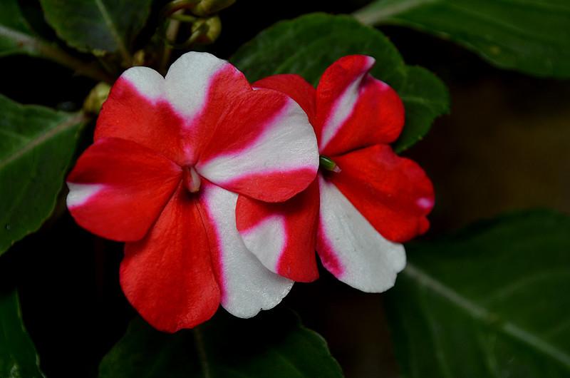 All Sizes Beijo Vermelho E Branco Impatiens Hawkeri Flickr