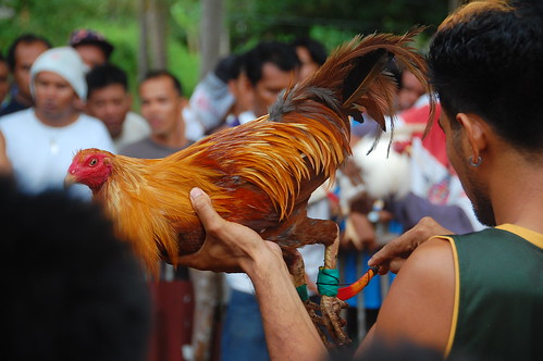 Cock Fight Philippines
