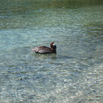 Pelican taking a sip of ocean