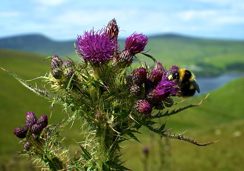 wild man flower view thistle reservoir bee bumble isle sulby