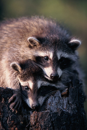 Wildlife in British Columbia, Canada: Raccoon