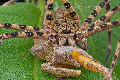 Heteropoda sp. huntsman with frog prey IMG_5189 copy