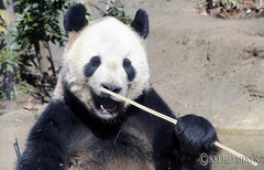 Kunfu panda with a bamboo stick in 恩賜上野動物園 Ueno Zoo Tokyo