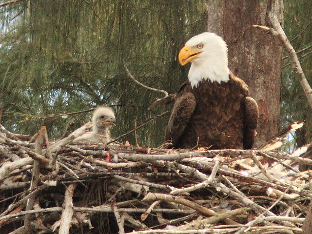 Bald Eagle proud papi 20140126