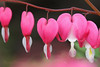 Bleeding Hearts by GwenDeanne