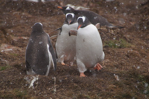 236 Ezelspinguins