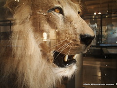 animal, mane, big cats, lion, mammal, roar, fauna, close-up, whiskers,