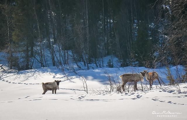 An Arctic Adventure in Swedish Lapland - Wild Reindeer