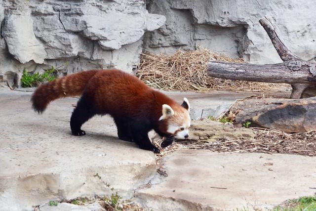 Amblin' Red Panda