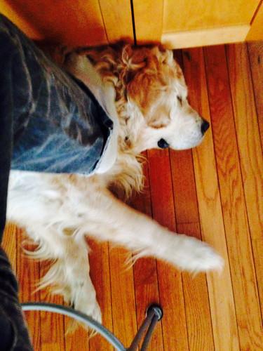 dogs roger shamrock