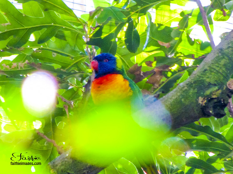 Lorikeet up a tree