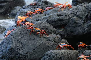 SALLY LIGHTFOOT CRABS.  Galapagos Islands, Ecuador.