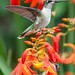 Backyard Hummingbird by cabomhn