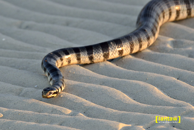 "Banded Sea Krait (Locally called ""Walowalo"")"