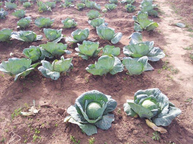 Fig 13.  Vegetables