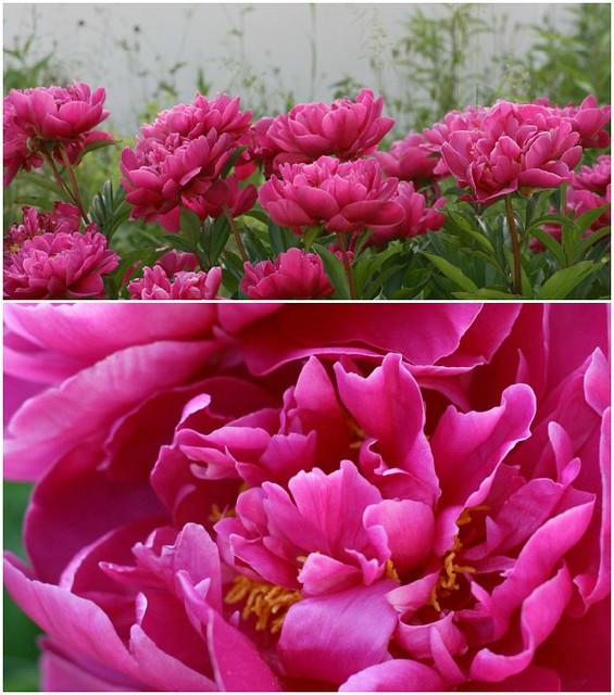 Pfingstrosenliebe im Juni für #2flowergirls collage 03