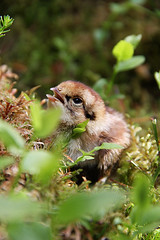 Kirillova Aino - White Grouse chick