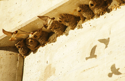 Cliff Swallows Under the Bridge