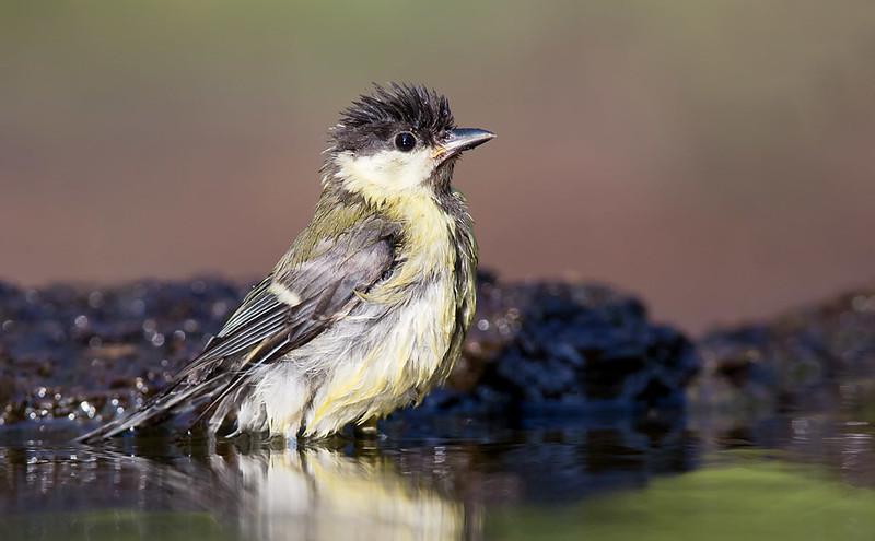Great Tit bathing [juvenile]