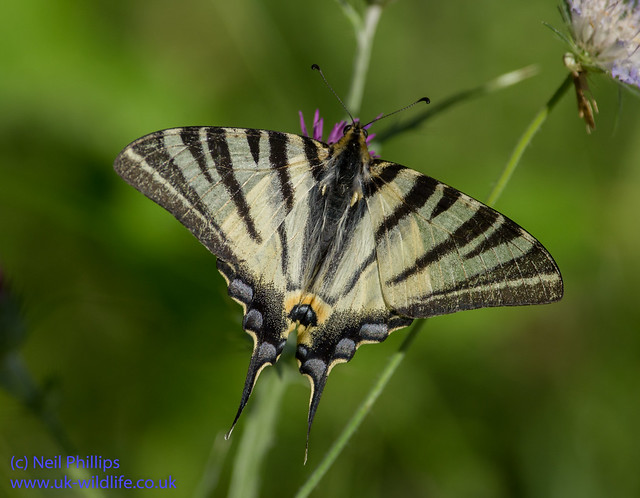 scarce swallowtial butterfly