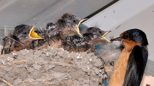 Mama barn swallow feeds her little ones