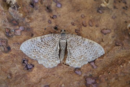 Scallop Shell (Rheumaptera undulata)