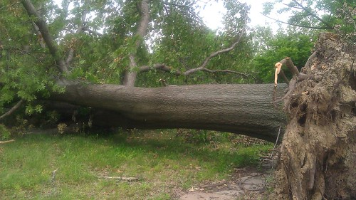 oak tree knocked over by tornado