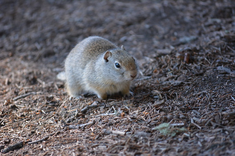 Uinta Ground Squirrel by wildlifestalker