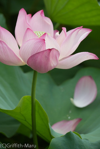 Another Lotus Flower