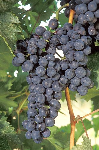 ARS scientists and NIFA-funded researchers work to improve the tools and processes to develop better grapes and grapevines. Their discoveries will make it easier for grape breeders to identify vines that combine the most desirable traits.