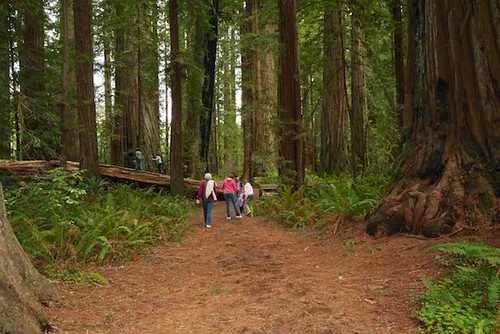 A walk at through the Redwoods