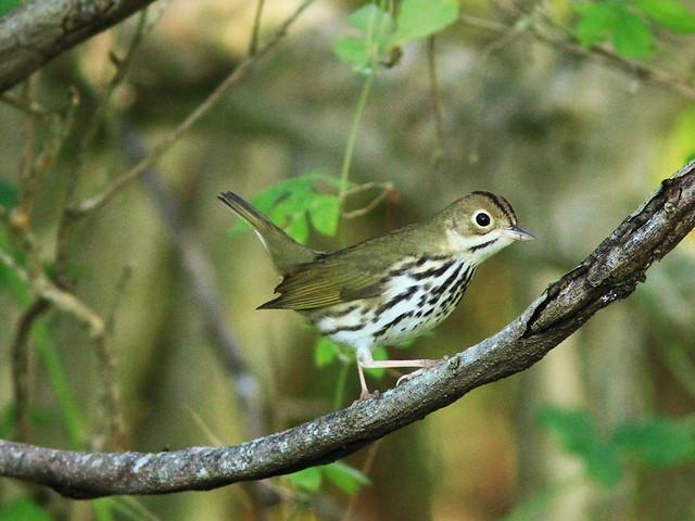 Ovenbird 4-20130922