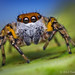Freya sp. (F. maculatipes?) Male Jumping Spider - Belize by Thomas Shahan