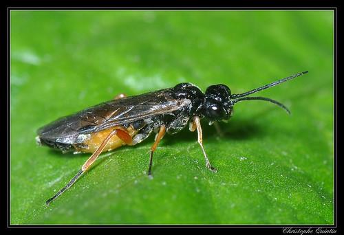 Tenthredinidae/Allantinae (Apethymus filiformis ?)