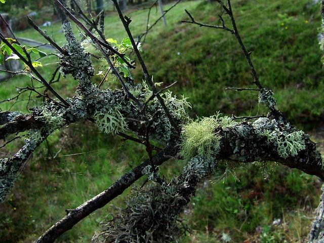 belichened birch 2