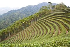 agriculture, field, soil, terrace, landscape, vegetation, grassland, vineyard, plantation,