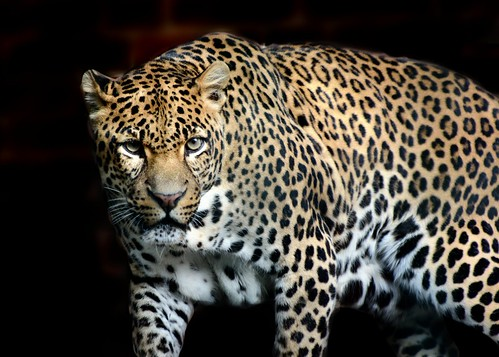 Leopardo persiano (Panthera pardus saxicolor)