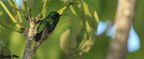 bird netherlands dutch animal hummingbird wildlife curacao caribbean fowl antilles specanimal