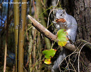 Delmarva Fox Squirrel!